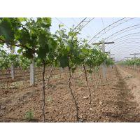 葡萄苗供应价格 天山葡萄苗品种出售