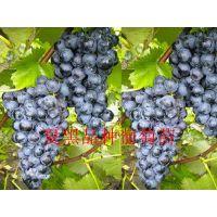 早熟葡萄苗,早熟葡萄苗有什么品种