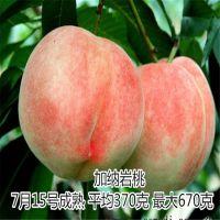 大量批发黄金冠桃苗 黄金桃品种简介