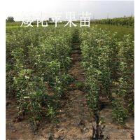 留源苗木(在线咨询),红富士苹果苗,红富士苹果苗价格