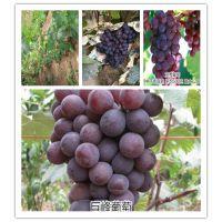 供应优质巨峰葡萄苗 葡萄苗价格