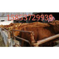 利木赞牛价格价格批发 利木赞牛价格价 利木赞牛价格 牛图片