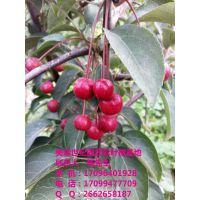 特供2—10公分高杆海棠,乔木海棠、原生冠海棠、观花行道海棠,分枝点1.2-2米