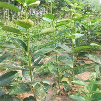 富有柿子苗 高产柿子苗 自产自销 泰安大地果树园艺场