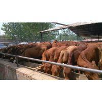 山东小黄牛价格,山东哪里的牛犊便宜,山东正规养牛场地址