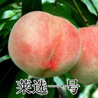 山东平度大泽山 莱选一号桃树苗 离核果树苗 南北方种植桃树苗 晚熟离核
