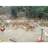 出售土鸡苗 土鸡种蛋 土鸡散养技术培训 18972291218