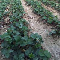 大棚草莓苗直供 脱毒奶油草莓小苗 当年结果 丰产果大 多品种