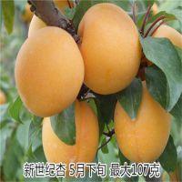 壹棵树种植园供应珍珠油杏 珍珠油杏树苗价格
