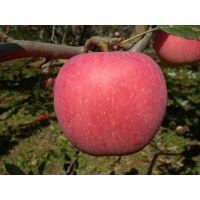 山东红富士苹果产地批发价格