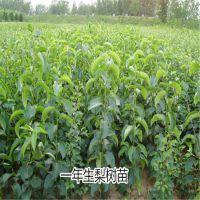 优质全红梨树苗基地直供 1公分全红梨苗价格优惠 保证纯度
