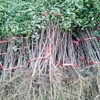 出售1米以上花椒树苗 根系发达包成活率 山东花椒树苗种植基地