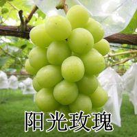 山东大泽山 嫁接扦插种苗 阳光玫瑰葡萄苗 南北方种植中熟好吃