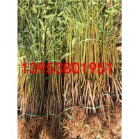桃树苗出售 市场价值高红不软桃树苗 抗寒北方桃树苗品种