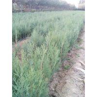 供应灌木小苗,低价出售侧柏小苗,20公分高侧柏苗哪里有多少钱