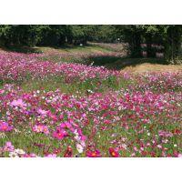 供应绿化工程用波斯菊种子黑心菊种子等花卉种子