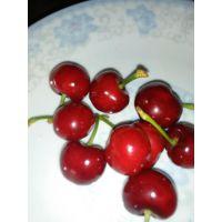 拉宾斯樱桃苗哪里有卖 泰山大地果树园艺