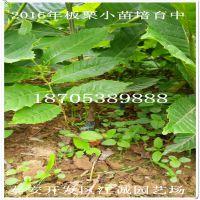 板栗苗 泰山大板栗个大皮薄 基地种植各种规格板栗苗 高70 80 1M