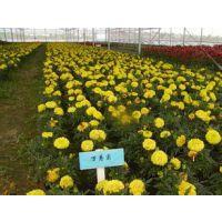 青州地区万寿菊草花交易价格是多少