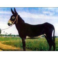 郓城肉驴养殖_万隆牧业_肉驴养殖补贴