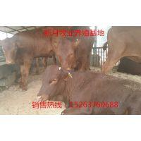 利木赞牛多少钱一斤,哪里有卖利木赞牛小牛犊的