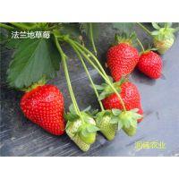 泰安润佳农业大量供应红颜 章姬 法兰地 甜查理 丰香等品种草莓苗