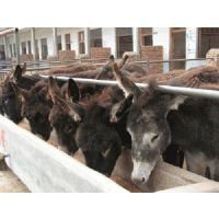 养殖肉驴前景、肉驴、万隆畜牧养殖