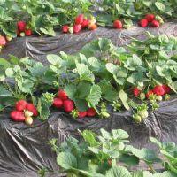 苗圃大量出售有优质脱毒草莓苗 价格低的草莓苗 买草莓苗找地森电话15621553555