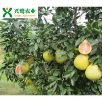 重庆柚子苗基地 价格 品种 产量