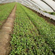 墨西哥玉米草播种机价格 小粒种子播种机型号