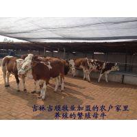 供应优质西门塔尔牛、优质西门塔尔牛现在多少钱一头、
