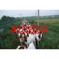 养羊经济效益分析-致富经养羊视频