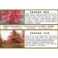 猩红栎青岛抬头园林优质猩红栎小树苗北美红栎美国红橡树