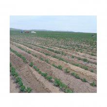 大田滴灌土豆种植技术 滴灌土豆栽培技术 膜下滴灌土豆技术