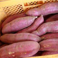 山东出售红薯 山东供应红薯