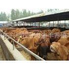 供应肉牛品种价格分类哪种肉牛容易养殖利润高