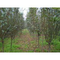 口感好的梨树苗 河南梨树苗嫁接基地 晚熟桃树品种报价