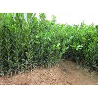 柳州大棚沙糖桔苗网|哪里有健康沙糖桔苗买|优质沙糖桔苗