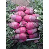 供应紫参水果萝卜种子