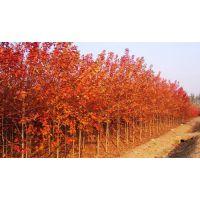 美国改良红枫价格 美国红枫小苗价格报价