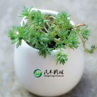 多肉植物 薄雪万年草 叽小松 室内小盆栽植物 迷你肉肉植物盆栽
