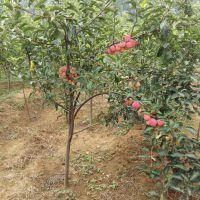 苹果苗基地 批发红富士苹果树苗 烟台红富士苗 水果苗 香脆可口