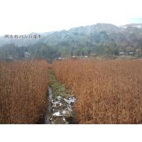 供应水杉树苗、水杉树苗价格、1-3年苗、株高20-60厘米、地径0.2-2公分