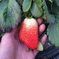 求购甜查理草莓苗 甜查理草莓苗品种介绍