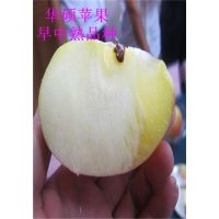 红富士苹果苗,红将军苹果苗价格,当年红富士苹果苗