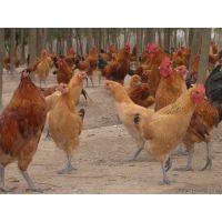 供应大量土鸡苗,鸡苗当天发货 湖北信昌孵化场
