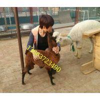 山东的羊驼养殖基地羊驼价格羊驼出售-养殖