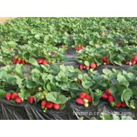 一代脱毒红颜草莓苗,低价优质草莓苗,纯种红颜