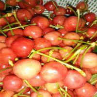 高产红灯樱桃苗 抗虫害 自产自销 价格低 泰安大地果树园艺场