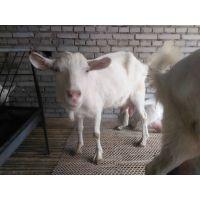 出售产奶量高-莎能奶羊-现在产奶 萨能奶山羊价格